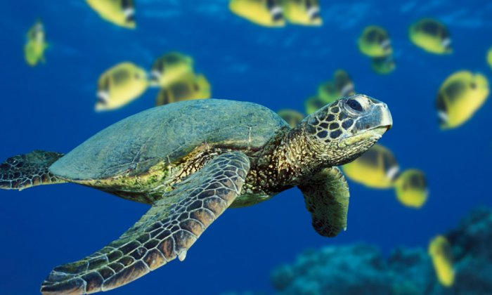 Green Sea Turtle — kopia
